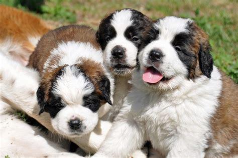 how much are bernard puppies bernard justadogg