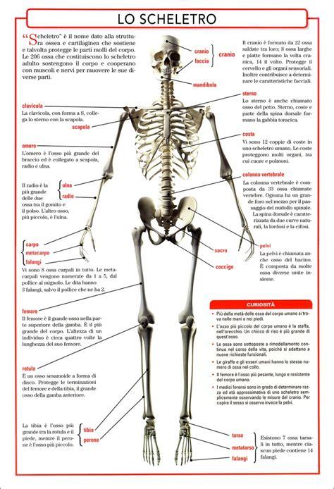 anatomia organi interni l anatomia corpo umano lo scheletro