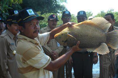 Bibit Gurame Angsa budidaya ikan gurameh yang bisa mendatangkan laba besar