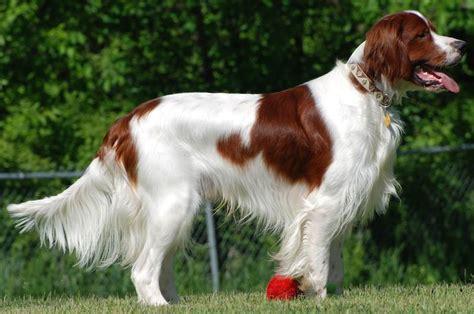 white setter dog irish red and white setter www imgkid com the image