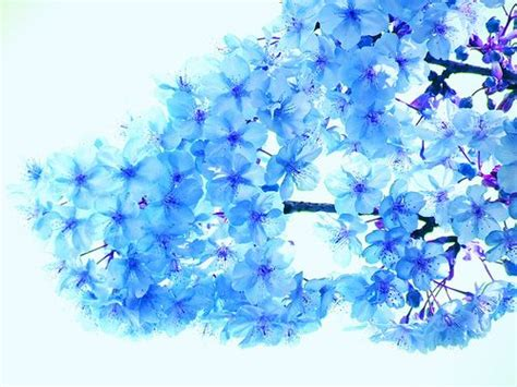 Blue Cherry blue cherry blossoms via flickr