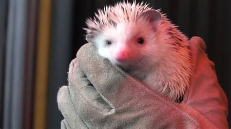 groundhog day oregon zoo groundhog day fufu the hedgehog predicts an early