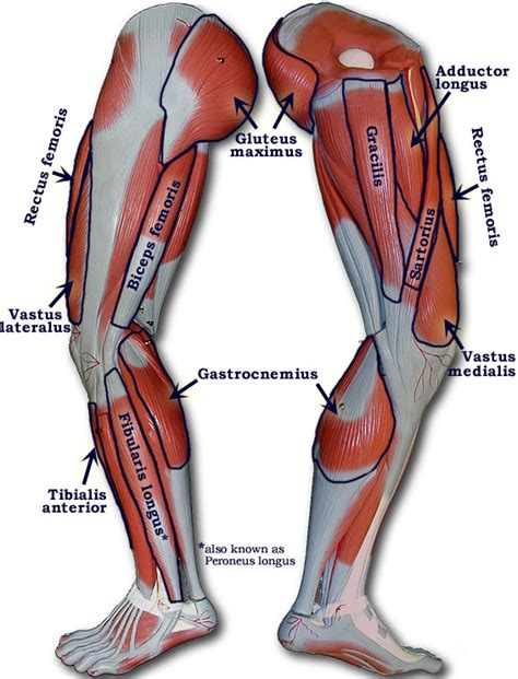 leg muscles diagram leg muscles diagram diagram site