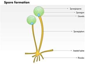 0914 spore formation medical images for powerpoint ppt