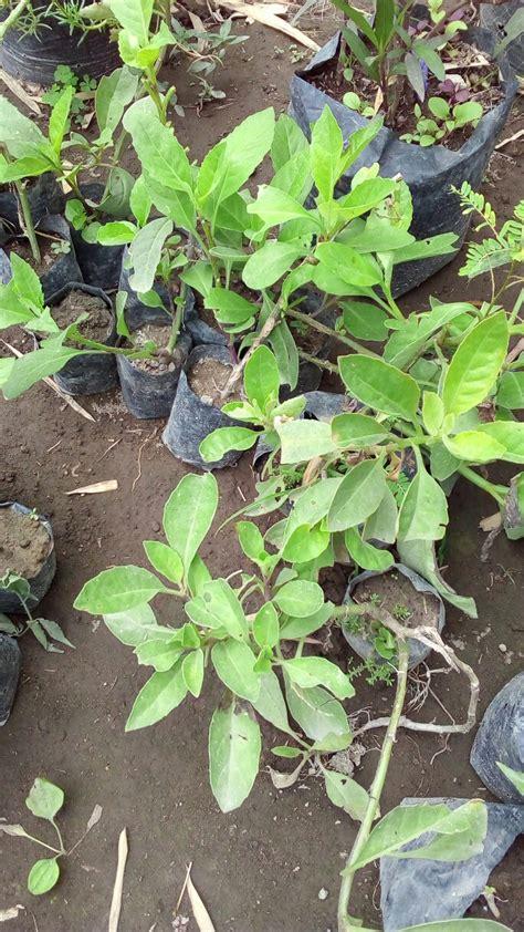 bibit tanaman sembung nyawa anget mas anget mas