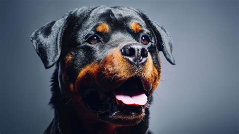 large dogs top 10 large breeds that prove bigger is better