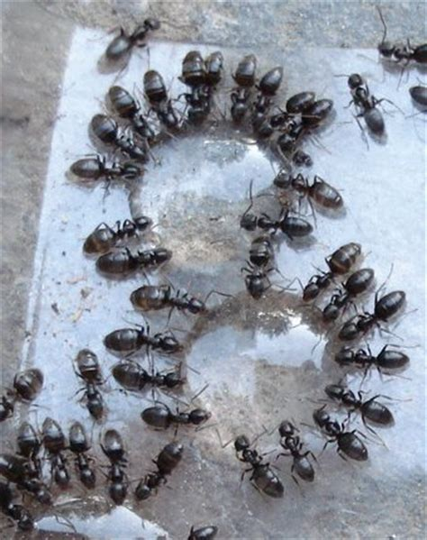 how to get rid of sugar ants in the house how to get rid of sugar ants new leaf pest control