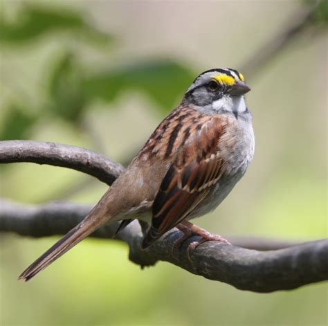 white throated sparrow iowa birds in my area pinterest