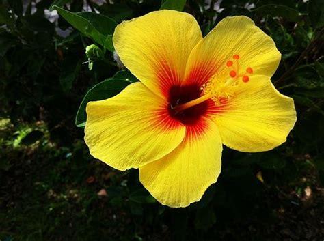 Hawaiian Yellow Hibiscus Orange Yellow Hibiscus | hawaiian yellow hibiscus orange yellow hibiscus