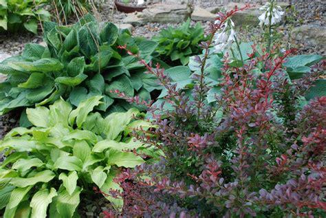 plant grow  maintain hostas