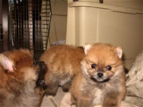 free pomeranian puppies in arkansas pomeranian dogs for sale in arkansas