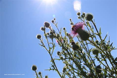 massimo fiore l ape e il fiore massimo zambellimassimo zambelli