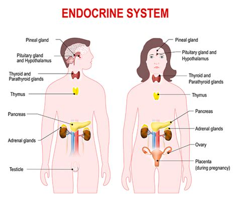 diagram of the endocrine system 7 facts about human hormones and their functions mental