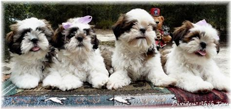 shih tzu breeders in ga why dogs throw up shih tzu for sale in ga how to leash