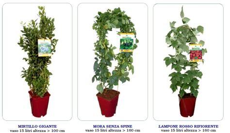 pianta di more in vaso piante in vaso di piccoli frutti di bosco mirtilli