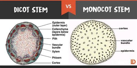 difference between monocot and dicot root cross section how will you distinguish between dicot plants and monocot