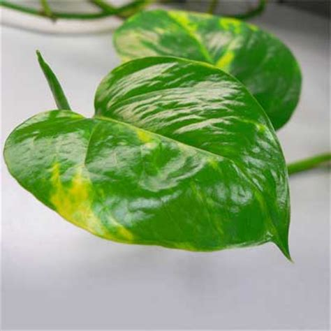 vine house plants healthy houseplants