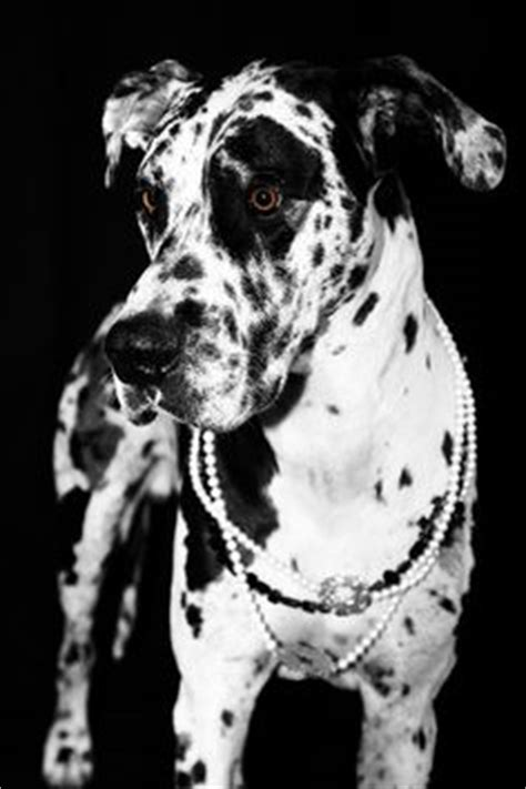 spotted great dane puppy spotted great dane black and white beautiful majestic