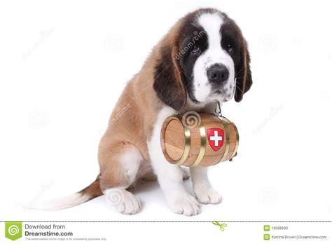 st bernard puppies rescue bernard barrel breeds picture