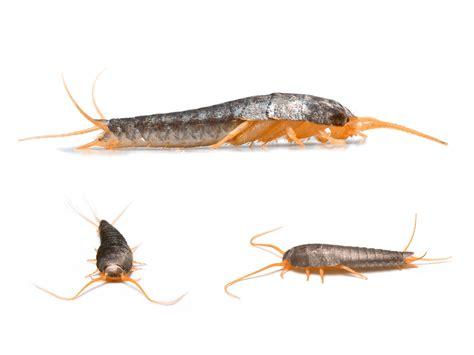 what causes silverfish in bathrooms silverfish pest control phoenix az blue sky pest control