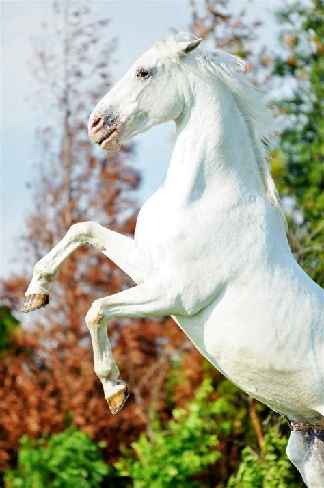 white mustang horse rearing wild white mustang stallion horse hest animal
