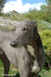 Front Doors For Homes ex racing blue greyhounds make lovely gentle family pets