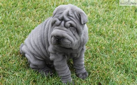 blue shar pei puppy blue shar pei shar pei