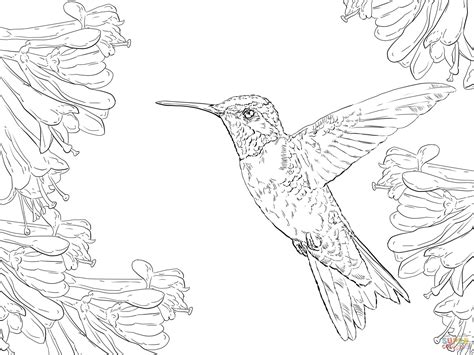 realistic ruby throated hummingbird coloring page free