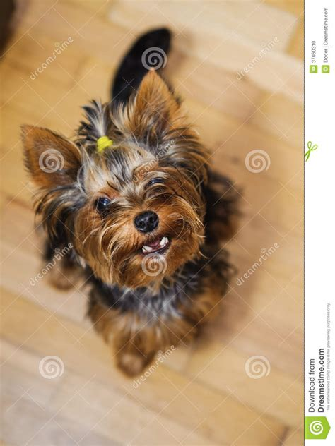 tiny yorkie haircuts small yorkshire terrier haircut pet stock photo image