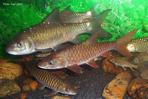 ikan kelah portal berita eksklusif ikan kelah dan kundangcrew mari mengenal spesis ikan ikan kelah