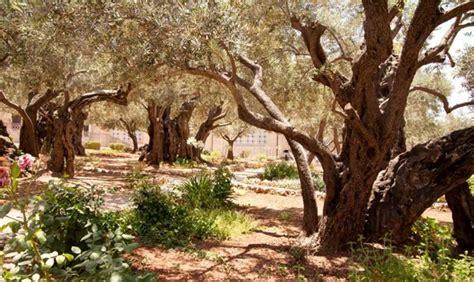giardino dei getsemani giardino dei getsemani itraveljerusalem