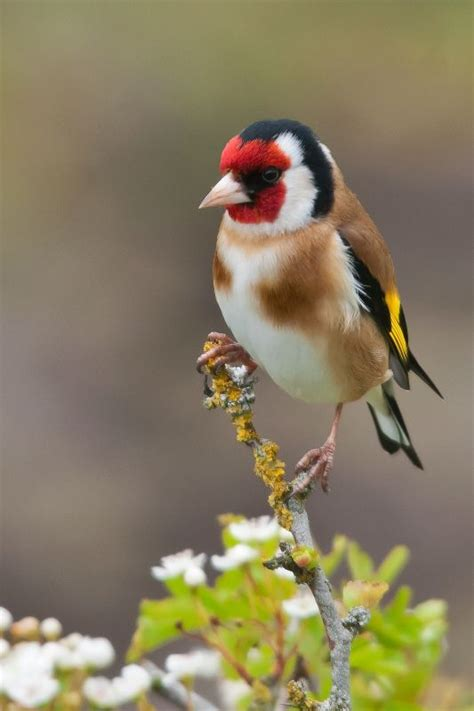 goldfinch birds pinterest