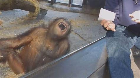baby orangutans gito asoka meet   time  adorable video todaycom