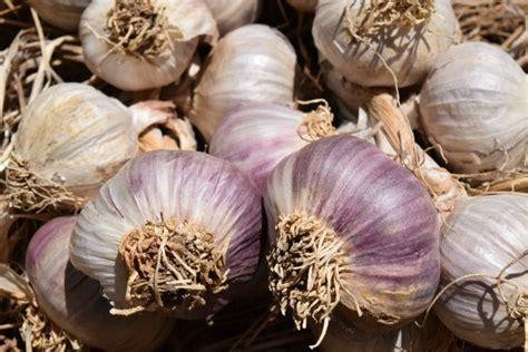 planting garlic tips  growing  harvesting fall