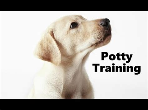 how to potty a lab puppy how to potty a labrador retriever puppy labrador retriever puppies