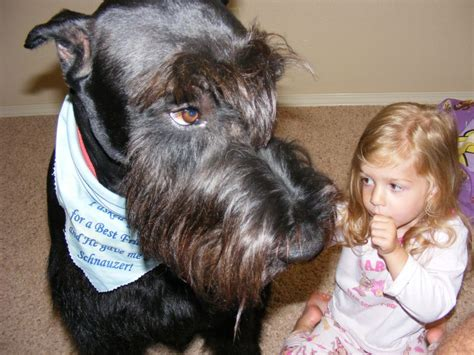 Do Dogs With Hair Shed by Schnauzer Mix Hair Cuts Hairstyle Gallery