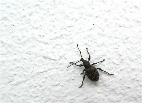 black bed bug pin by tipmine on home is where the tips are pinterest