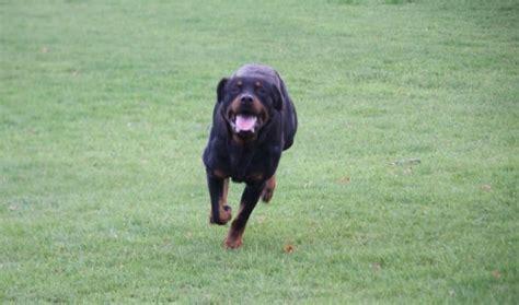rottweiler rescue midlands zeus 226 3 year rottweiler for adoption