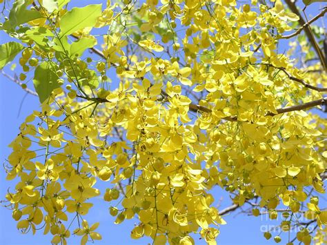 Shower Tree by Golden Medallion Shower Tree Photograph By Deal