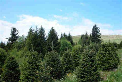 types of christmas trees explained douglas fir balsam