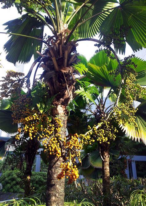 heart shape palm tree fruits  stock photo public