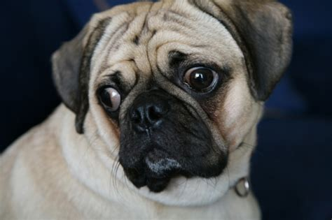 pugs as family pets a pug family pet miscellaneous photography exle