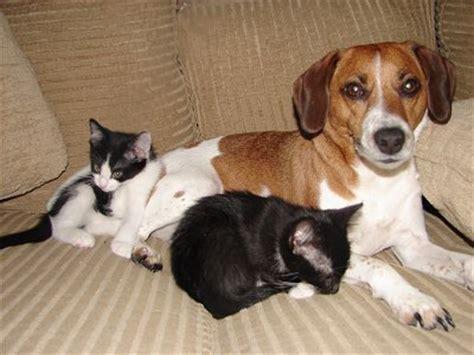 beagle terrier mix puppy beagle rat terrier mix m5x eu