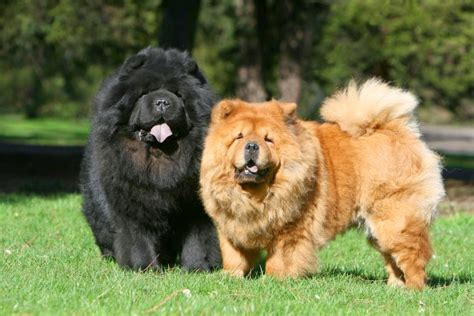 chow chow breed everything about your chow chow my dogs