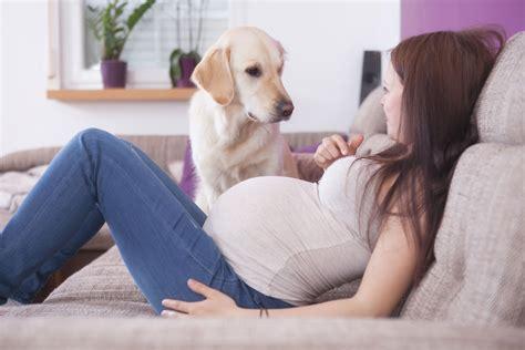 can dogs sense pregnancy can pets sense pregnancy