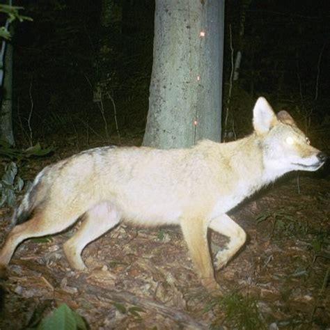 coyote hybrid coyote wolf hybrid