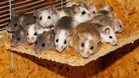 how to keep mice away from your bed top 10 natural ways to keep mice away from your home