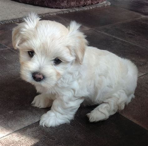 maltese terrier puppies for sale maltese terrier x yorshire terrier puppies morkie newark nottinghamshire pets4homes