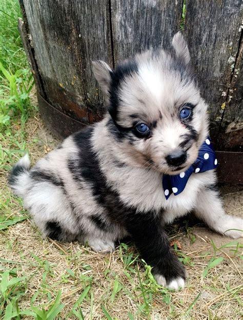 pomsky puppies breeders 72 best pomsky breeders images on pomsky breeders siberian huskies and