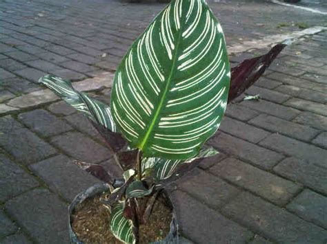 Tanaman Calathea Ornata Pinstripe tanaman pinstripe calathea bibitbunga